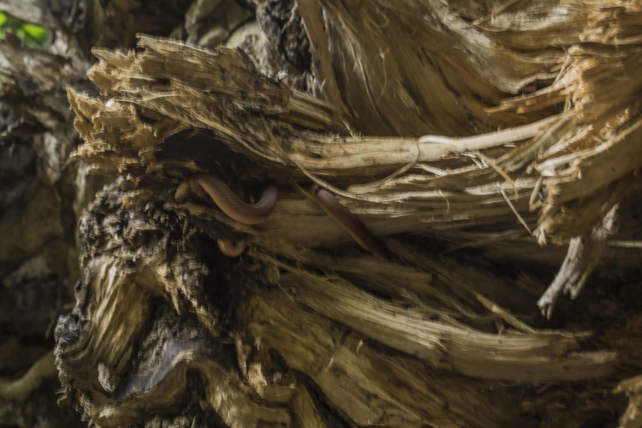 Змея в древесине
