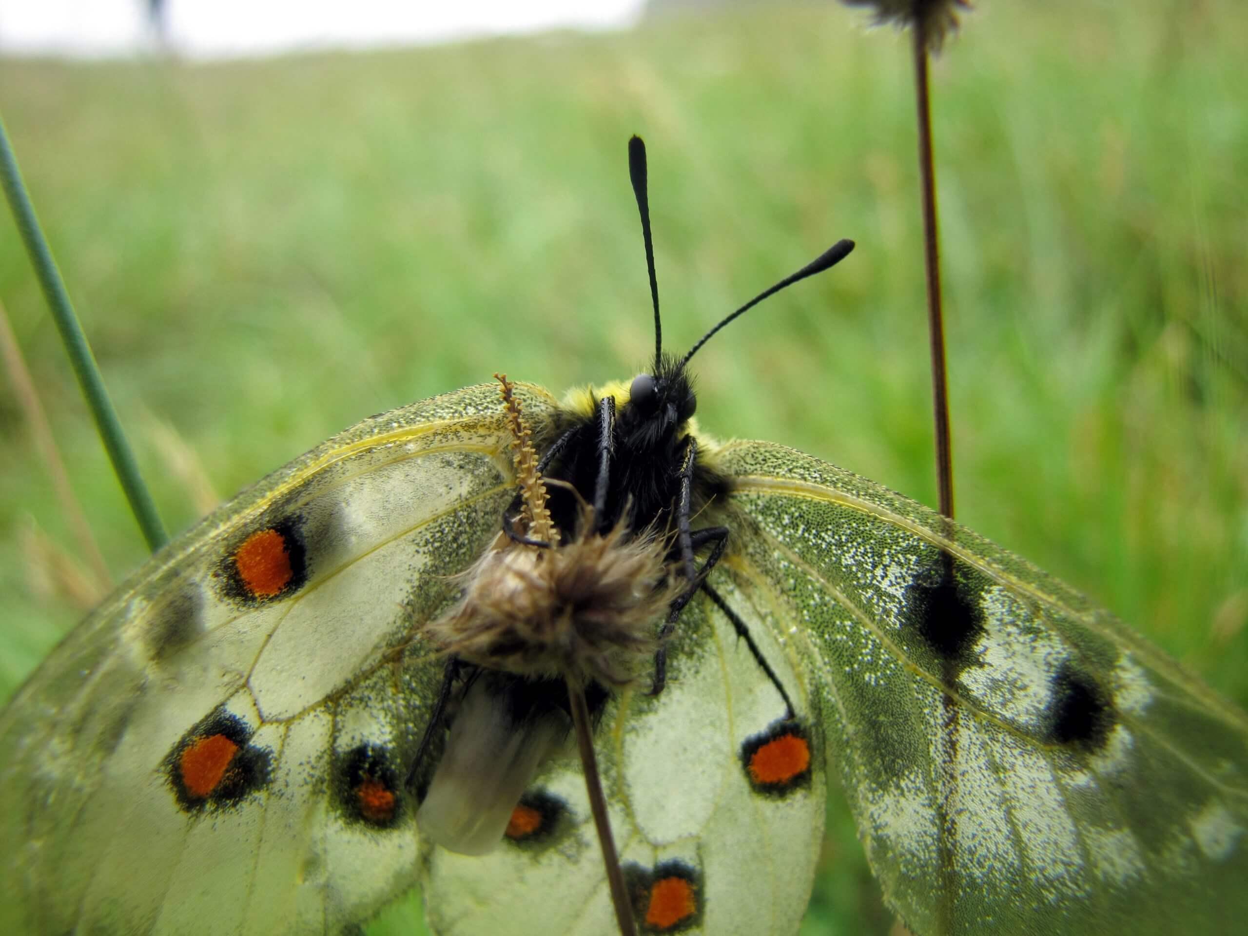 Краснокнижная бабочка Аполлон