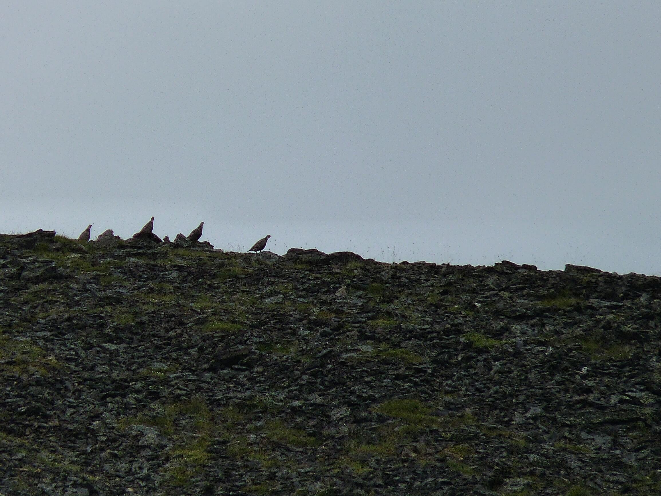 Улары на склоне горы Уруп