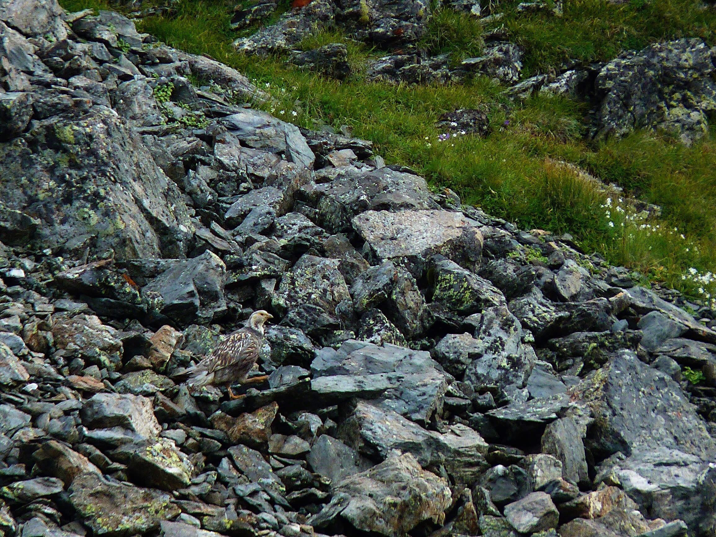 Улар на склоне горы Уруп