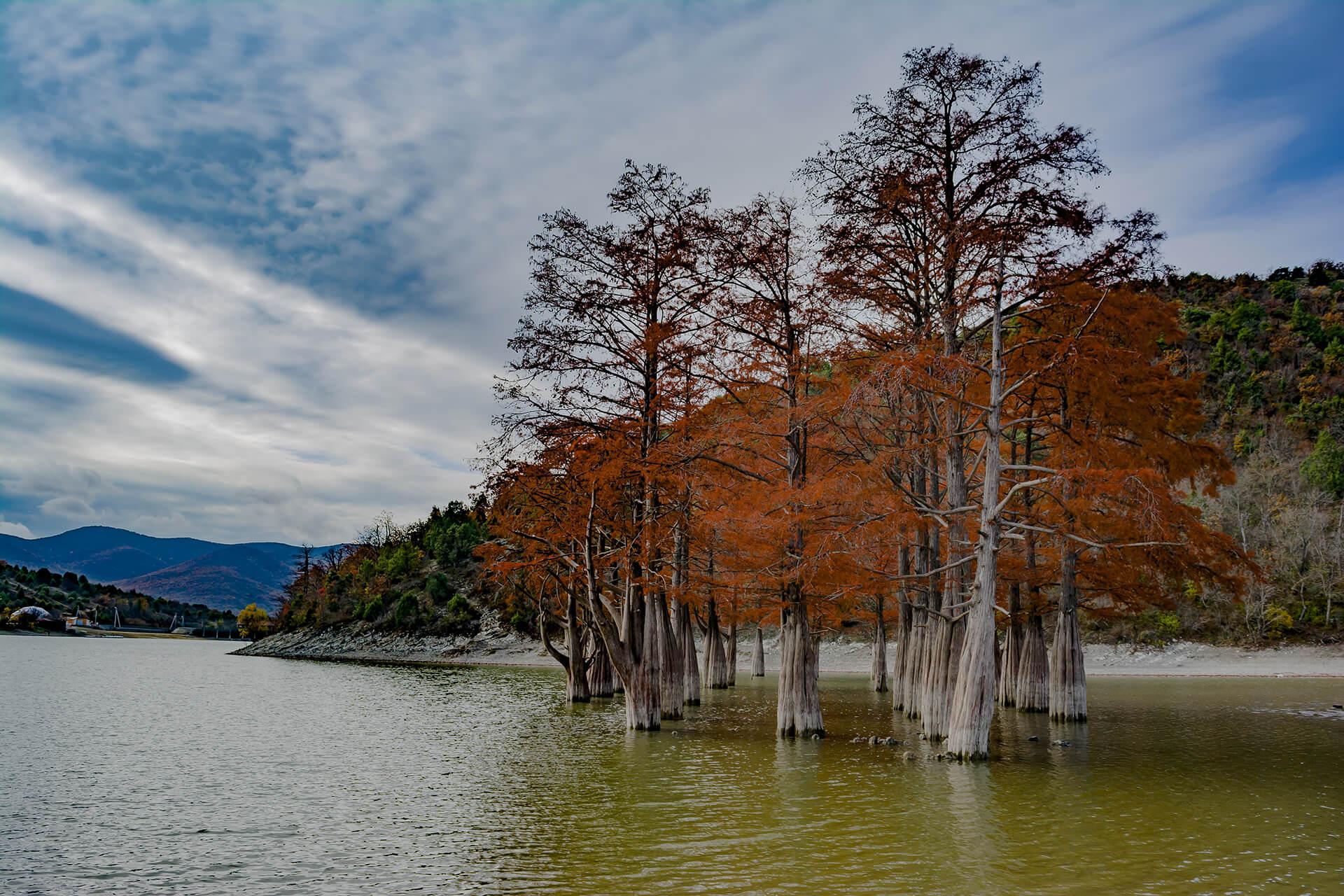 32 болотных кипариса